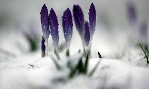 crocus snow